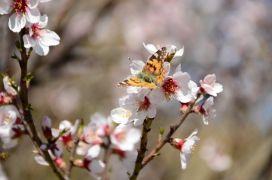 Akseki'de badem ağaçları çiçek açtı