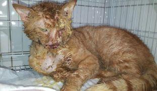 Asitle yakılan kedi 2 aylık tedaviyle hayata tutundu