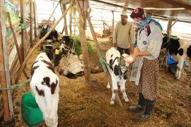 Yavrulayan inekleri ölen çiftçi çaresiz kaldı