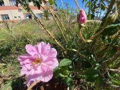 40 gün erken açan güller üreticiyi endişelendirdi