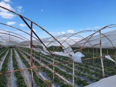 Antalya'da şiddetli rüzgar çilek seralarının naylonlarını uçurdu