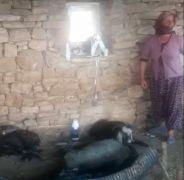 6 gün alevlerin arasında mahsur kalan keçi, kurtarıldıktan sonra litrelerce suyu kana kana içti